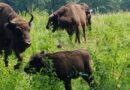 Se caută un nume pentru un pui de zimbru de la Grădina Zoologică Dragoș Vodă